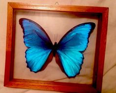 MORPHO ADONIS in dbl-glass w/frame, Blue Butterfly, Peru -- purchased from a neat shop in downtown Hot Springs, AR http://www.earthboundtrading.com/