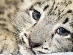 Snow Leopard = pretty Baby Snow Leopard, Leopard Kitten, Leopard Cub, Leopard Eyes, Beautiful Cats, Animals Beautiful, Majestic Animals, Beautiful Creatures, Big Cats