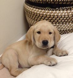 """The Guiding Eyes """"TODAY"""" yellow Lab pup at 8 weeks old TODAY Ch 4 """"Wrangler"""" Puppy with a purpose"""