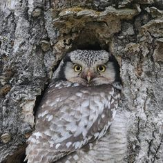 This adult female spent long periods perched in the nest hole sheltering her young from the wind. Photography Tours, Wildlife Photography, Pretty Pics, Pretty Pictures, Largest Bird Of Prey, Owl Photos, Animal Totems, Birds Of Prey