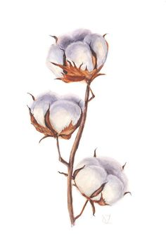 Original Cotton Branch Watercolor Painting  Cotton Bolls