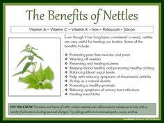nettle tea benefits - Google Search