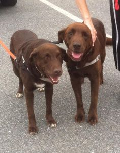 8/25/15★★6/22/15♥♥DOUBLE LOVE♥♥♥ We are now homeless because our parent died. We comfort each other and we are bonded. We are good dogs and would love to stay together because we need each other. Do you have room in your heart for us? We cannot be separated, we would be devastated. PLEASE read our bio, thank you for checking us out. If you cannot adopt us, would you please share our story and our picture? We thank you much♥♥♥♥♥♥Red and Coco • Labrador Retriever • Senior • Female • Large •…