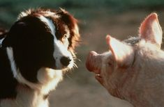 Today is the first day of DOGATHON (February - and I'm happy to join in the fun with my post on one of the best films about ani. Babe 1995, Border Collie Names, Border Collies, Sheep Pig, Dog Heaven, The Best Films, Little Pigs, Movie Collection, Sheltie