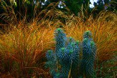 Euphorbia and ornamental grass.