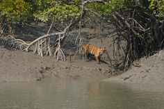 India's National Tiger Conservation Authority just announced a increase in population (up from in 2006 to now). Here are six resorts where you can see those tigers in the wild. Tiger Conservation, Northeast India, Wild Tiger, West Bengal, Tourist Places, India Travel, Online Bags, Trip Planning, Places To See