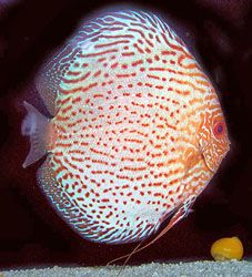 Spotted discus: Cross breed from Turquoise Discus and red Green Discus, Spotted discus new generation developed to Leopard Discus.