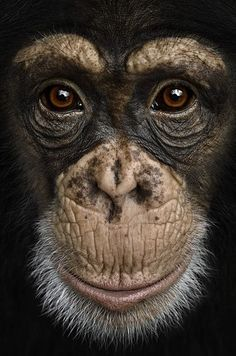 Brad Wilson makes stunning studio portraits that capture the likeness of wild animals in beautiful detail. Animals And Pets, Funny Animals, Cute Animals, Animals In The Wild, Baby Animals, Primates, Beautiful Creatures, Animals Beautiful, Regard Animal