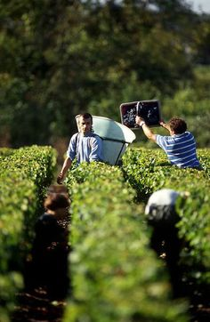 wine harvest at Bord