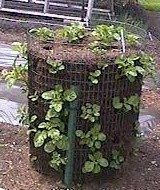 Growing Potatoes in a Chicken or Hog wire cage