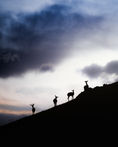 """National Geographic Your Shot on Instagram: """"Photo by @jeff.n.brenner / Young elk gather atop a ridge at sunset in Yellowstone National Park, Wyoming. This is an Editor's Pick chosen…"""""""