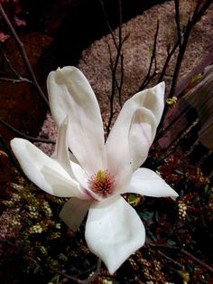 Ihana magnolia