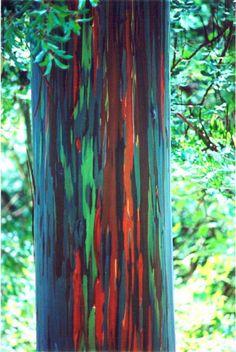The most colorful tree in the world: The Rainbow Eucalyptus tree (Eucalyptus deglupta).