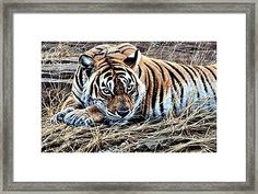 Resting Tiger By Alan M Hunt Framed Print by Alan M Hunt Wildlife Paintings, Wildlife Art, Cat Paintings, Big Cats Art, Cat Art, Rusty Spotted Cat, Black Footed Cat, Iberian Lynx, Pallas's Cat