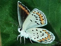 The delicate beauty belongs to a group of butterflies known as blues. Although this photograph mostly shows the underside, the top of the wings emit an iridescent sheen of purplish blue coloration. There are many species of blues that share this coloration characteristic. This orange-margined blue has attractive undersides with patches of metallic coloration. This species is widespread in the West and feeds on herbs and shrubs. Eggs are laid pale green with white ridges and the caterpillar…