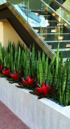 Snake plants and bromeliads make a strikingly beautiful combination in a planter alongside a modern glass staircase. As an added bonus the snake plants are one of the better plants at filtering out formaldehyde, which is found in many household products.  #bromeliad  #Sansevieria trifasciata  #AirQuality