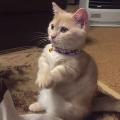 Please Please Please 😂 🎥 credit IG @yachimon3 👉 No copyright infringement intended! 📩 DM me in regards to any questions / concerns / credit / removal! 😍👉 #funny #funnyvideos #amazingvideos #funnyanimalvideos #catvideos #cat #kitten #funnycats #trynottolaugh #cutecats Kittens Cutest, Cats And Kittens, Cute Baby Animals, Crazy Cat Lady, Crazy Cats, Cat Lovers, Cute Babies, Cat People, Cats Of Instagram