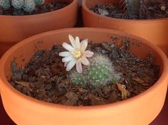 En flor Cactus Y Suculentas, Flower