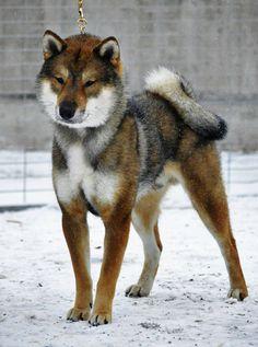 Shikoku Dog (Japanese)