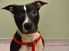 SUPER URGENT 12/26/14 Manhattan Center   EGGNOG - A1023970   SPAYED FEMALE, BLACK / WHITE, AM PIT BULL TER MIX, 8 yrs STRAY - ONHOLDHERE, HOLD FOR ID Reason STRAY  Intake condition EXAM REQ Intake Date 12/24/2014, From NY 10029, DueOut Date 12/28/2014,  https://www.facebook.com/Urgentdeathrowdogs/photos/a.617942388218644.1073741870.152876678058553/928058777207002/?type=3&theater
