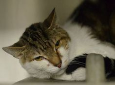 HENRY (A23423148) URGENT- I'm Henry, a small 3-5 yr old male tabby-and-white kitty. My owners turned me in when they couldn't afford to keep me. They loved me and said I was a good cat. ocated at Philadelphia's animal control shelter, ACCT. Needs immediate adoption, rescue or foster care. To check the status of an animal, call 267-385-3800, or email lifesaving@acctphilly.org