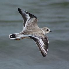 Piping plover Bird Image - http://www.petandanimals.com/piping-plover-bird-image/