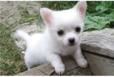 Stunning baby Chihuahua. Pink ears! ...........click here to find out more http://googydog.com