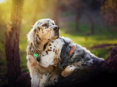 Love and devotion. I Love Dogs, Cute Dogs, English Setter Puppies, Hunter Dog, Dogs And Puppies, Doggies, Irish Setter, Puppy Eyes, Hunting Dogs