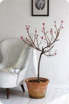LILLA BLANKA: Blommande nektarin ~ Nectarine blossom