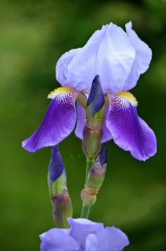 BLUE BEAUTY ( IRIS ) | Flickr - Photo Sharing!