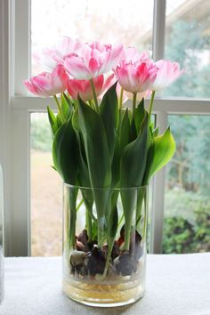 How to grow or force tulips and other perennials in glass jars all year around in your home. Glass vases or canning gars are great to use when growing tulips in your house.