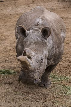 Nola is the last critically endangered northern white rhino in North America.