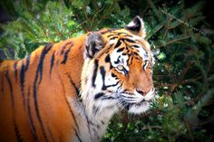Tiger by SeeItThroughMyEyes on Etsy, $5.00