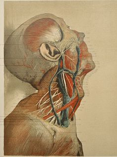 anatomy illustration  google found