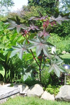 Castor Bean plant - love the huge leaves & red stems Castor Bean Plant, Front Yard Flowers, Poisonous Plants, Nature Scenes, Flower Beds, Artist At Work, Backyard Landscaping, Garden Plants, Countryside