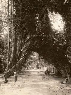 Banyan tree, 1895 - AWA Plate & Co. (Ceylon)