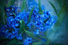 Misty Blue Flowers   lehighvalleylive.com