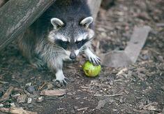 Ein Waschbär geniesst einen Apfel in TIERART Beautiful Pictures, Fox, Autumn, Seasons, Gallery, Animals, Fall Weather, Types Of Animals, Beautiful Images