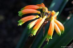 Clivia nobilis (Clivia)