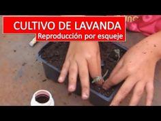 En este video te voy a mostrar como reproducir tus propias plantas de lavanda a partir de esquejes y algunos secretos para que salga todo perfecto La lavanda...