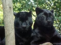 Black panthers in Asia and Africa are leopards and black panthers in the Americas are black jaguars. A black panther is the melanistic color variant of any Panthera species. Panther Leopard, Big Cats, Cool Cats, Cats And Kittens, Black Panthers, Black Animals, Cute Animals, Black Cats, Dog Cat