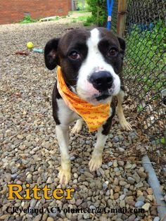 Meet Ritter-Euth Date 6/6 a Petfinder adoptable Pit Bull Terrier Dog | Cleveland, OH | URGENT! NEEDS FOSTER/RESCUE/ADOPTER!Email clevelandacvolunteer@gmail.com for info!K-135: Ritter is...