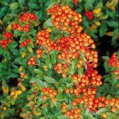 PS58.23.3 Pflanzen - Baum & Strauch - Heckenpflanzen - Feuerdorn 'Red Column'