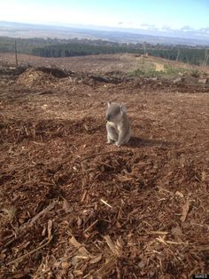 """""""This koala wandered back to his home in New South Wales, Australia last week only to find it had been cut down and chipped by logging operations.  The koala had been sitting on top of the wood pile for over an hour looking confused... He was later taken to a local veterinarian and released near an established colony, but the heartbreaking photo shows some of the hardships faced by animals over the past few years..."""""""