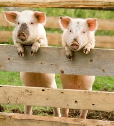 11 fotos de porquinhos para você se encantar - EscolhaVeg.com.br