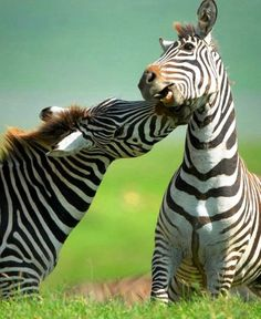 Zebra. Hmmm..are they black with white stripes or white with black stripes?? (btw, I know the answer  =o)