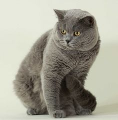 British Shorthair 7