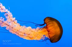 "Pacific Sea Nettle @ National Aquarium Go to http://iBoatCity.com and use code PINTEREST for free shipping on your first order! (Lower 48 USA Only). Sign up for our email newsletter to get your free guide: ""Boat Buyer's Guide for Beginners."""