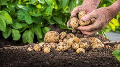 Kartoffeln sind gesund. Doch wie viele Vitamine und Mineralstoffe erhalten bleiben, hängt von der Zubereitung ab. Was ist gesünder: Kochen, Backen oder Braten?