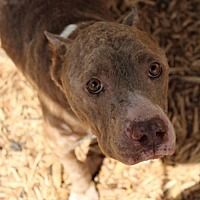 New York, NY - Pit Bull Terrier. Meet Patience a Dog for Adoption.
